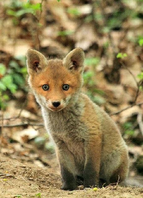 Online Spaans leren Spaanse taal en cultuur Andalusië / Dieren / Bevrijding vos